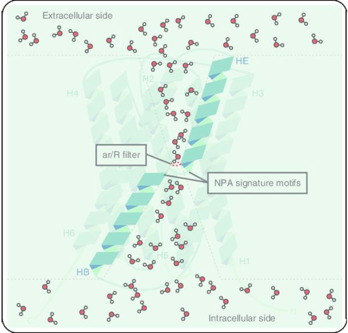 The molecule of life and aquaporin channels