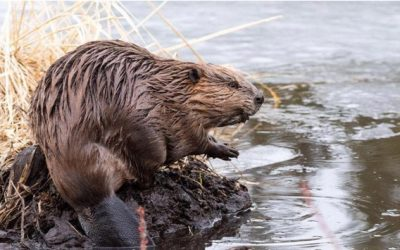 Leave it to beavers to restore ecosystem health